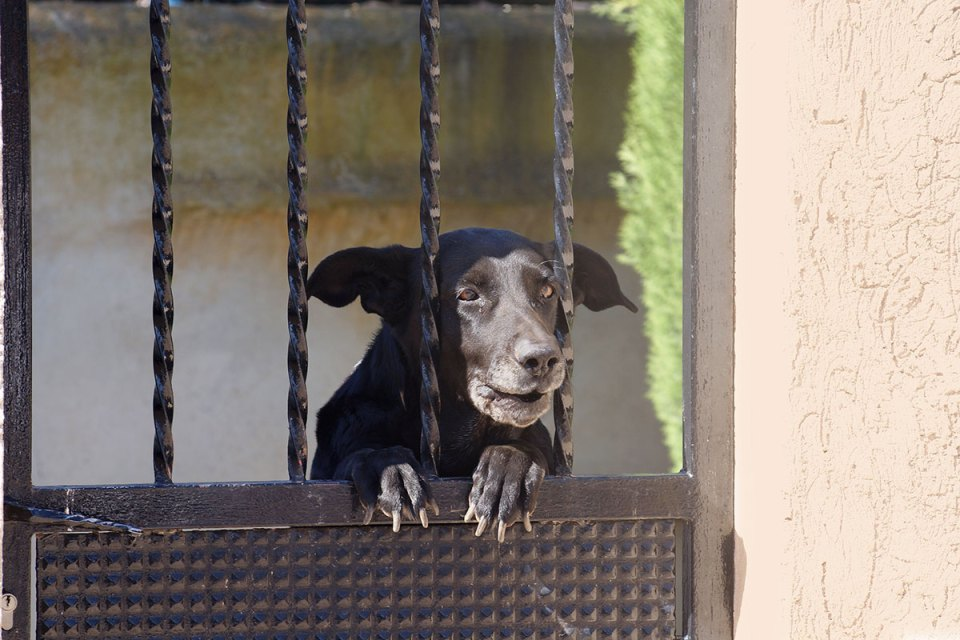 Mallorcan Shepherd Dog Guarding Property