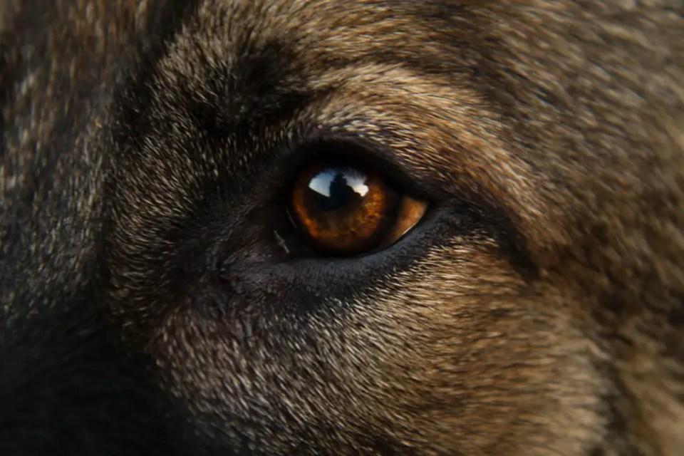 Agouti Color Pattern GSD Eye