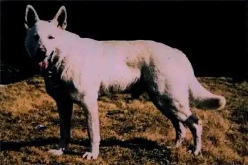 Lobo Of White Burch
