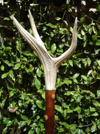 DS T216 Three pointer Red deer antler on Olive Shank, length 1.5m