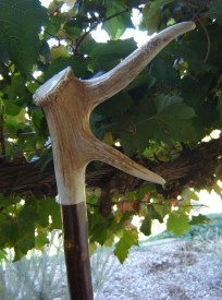 DS T 219 Elk antler, twin points, set onto Olive shank, length 1.5m sold