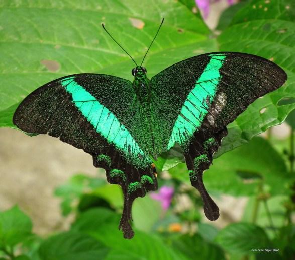 beautiful-butterfly-copy