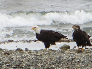 Eagles on the beach near Seattle.