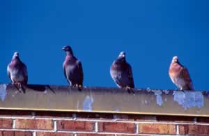 https://i1.wp.com/sherpaguides.com/georgia/atlanta_urban_wildlife/creature_feature/graphics/pigeons_roof.jpg