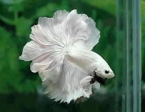 White betta splendens By Kingloovr via Wikimedia