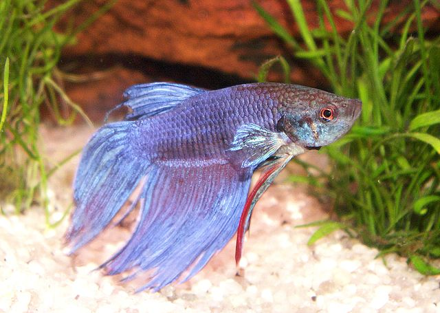 Kampffisch aka betta splendens