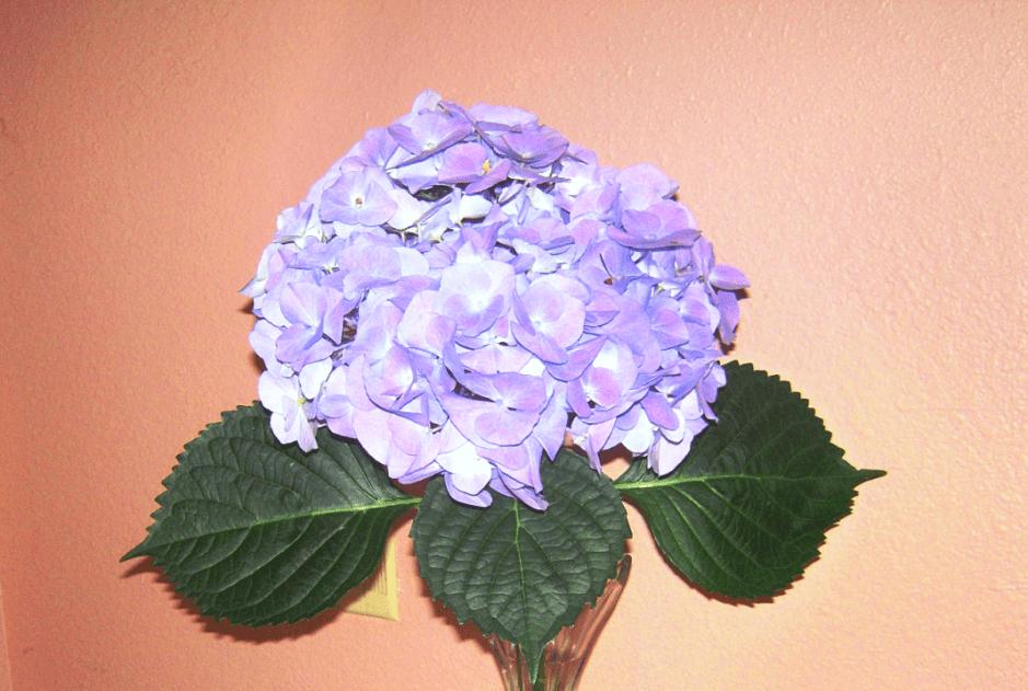 hydrangea, hydrangea blossom, XXXL blossom