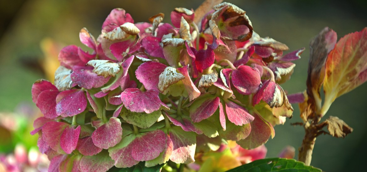 fading flowers, hydrangea, fall, autumn