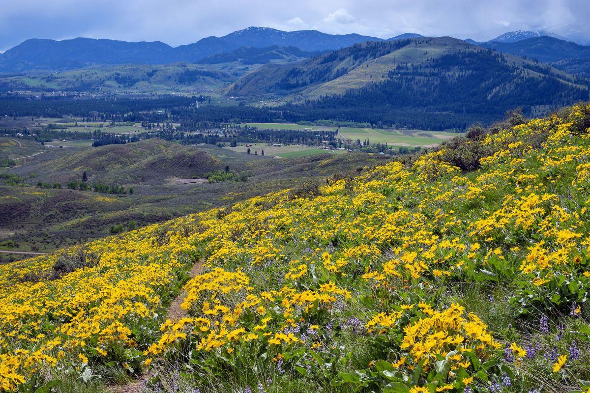 Methow Valley, Winthrop WA, wildflowers