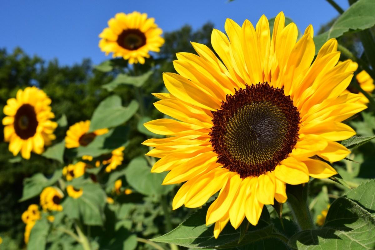 sunflower, sunflower field, blue sky, yellow