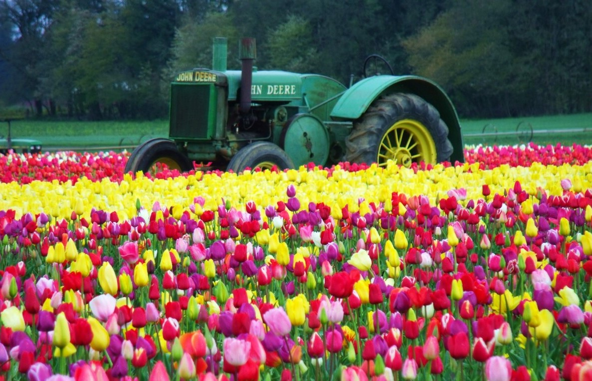 April, Wooden Shoe Tulip Festival, Woodburn Tulips, tulips, flowers, tractor