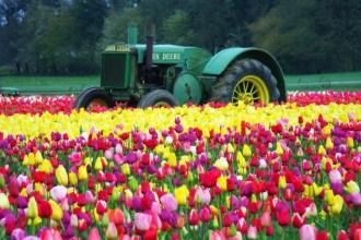 April, Wooden Shoe Tulip Festival, Woodburn Tulips, tulips, flowers, tractor