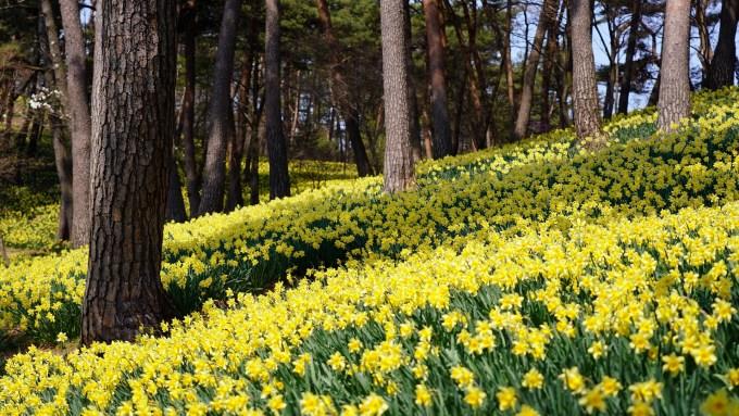 daffodils, field of daffodils, nature, flowers, trees,