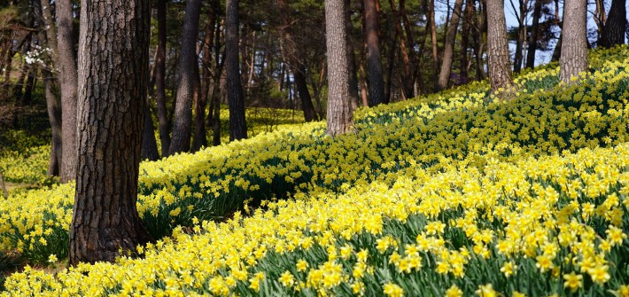 daffodils, field of daffodils, nature, flowers, trees,