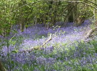Duncliffe Bluebell Woods May 2014 (11)