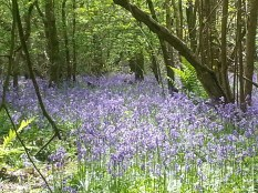Duncliffe Bluebell Woods May 2014 (8)