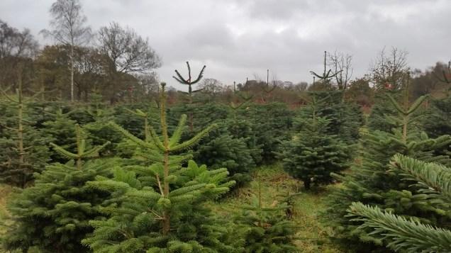 Christmas Tree Farm Nov 2015 (1)
