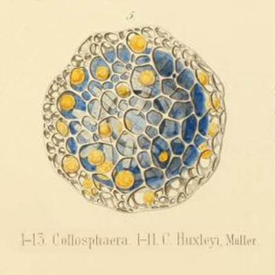 Ernst Haeckel Drawing of Collosphaera Huxleyi Muller 1862