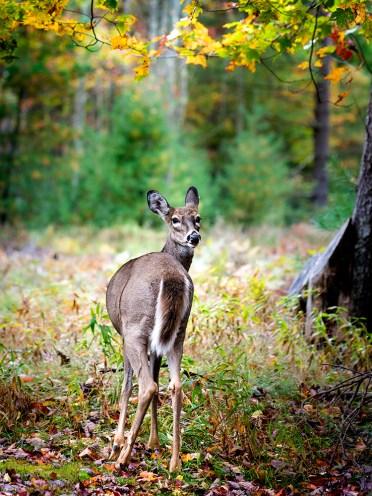 deerlr