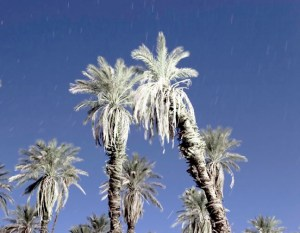 Palm Trees, Death Valley, CA