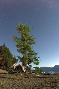 Tree, Crater Lake, OR