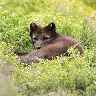 Arctic Fox in the summer time
