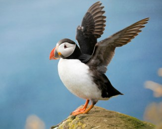 Puffin - North of the arctic circle