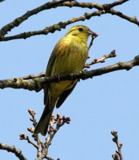 Yellowhammer - Classic bird or arable farms - not seen so much these days