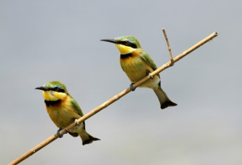Little Beeeaters 1