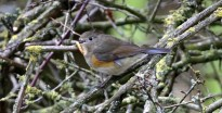 Red-flanked Bluetail. Marshfield. 6 March 2014
