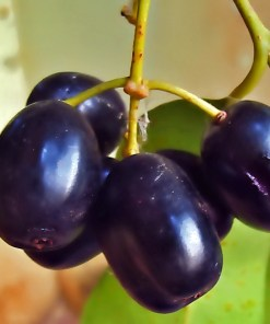 Buy Jamun in Pakistan