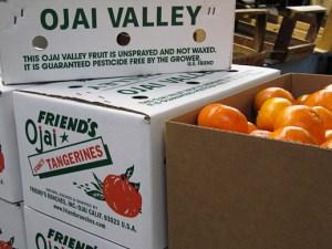 Pixie Tangerine, tangerine, grower tour, Ojai