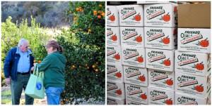 pixie tangerine, Ojai, grower tour