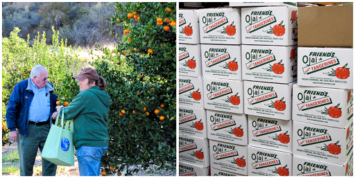pixie tangerine, Ojai, grower tour