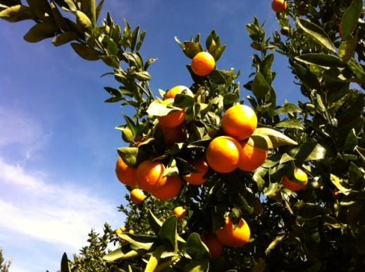 Ojai pixie tangerines, tangerines