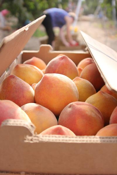 Heirloom peaches from Masumoto farms