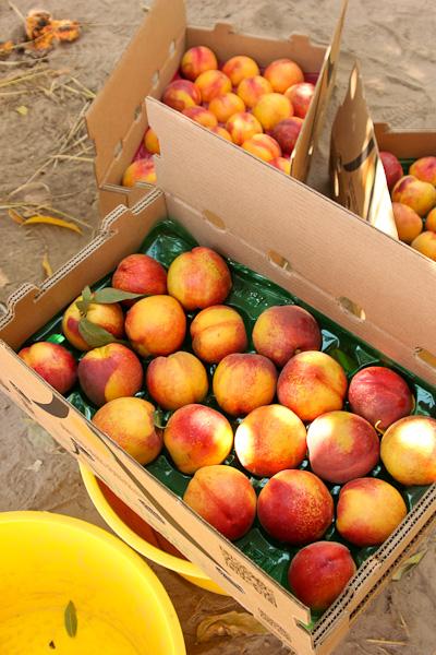 nectarines, grower tour, Masumoto Farms, Melissa's Produce