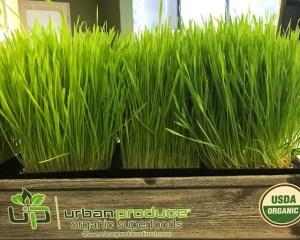 Urban Produce Wheatgrass | ShesCookin.com