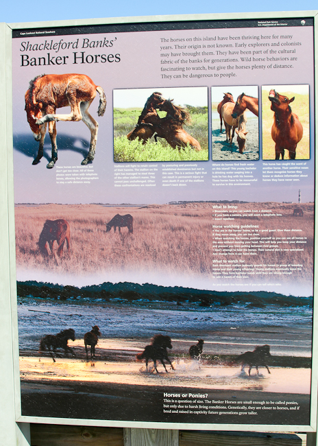 Horses of Shackleford Island