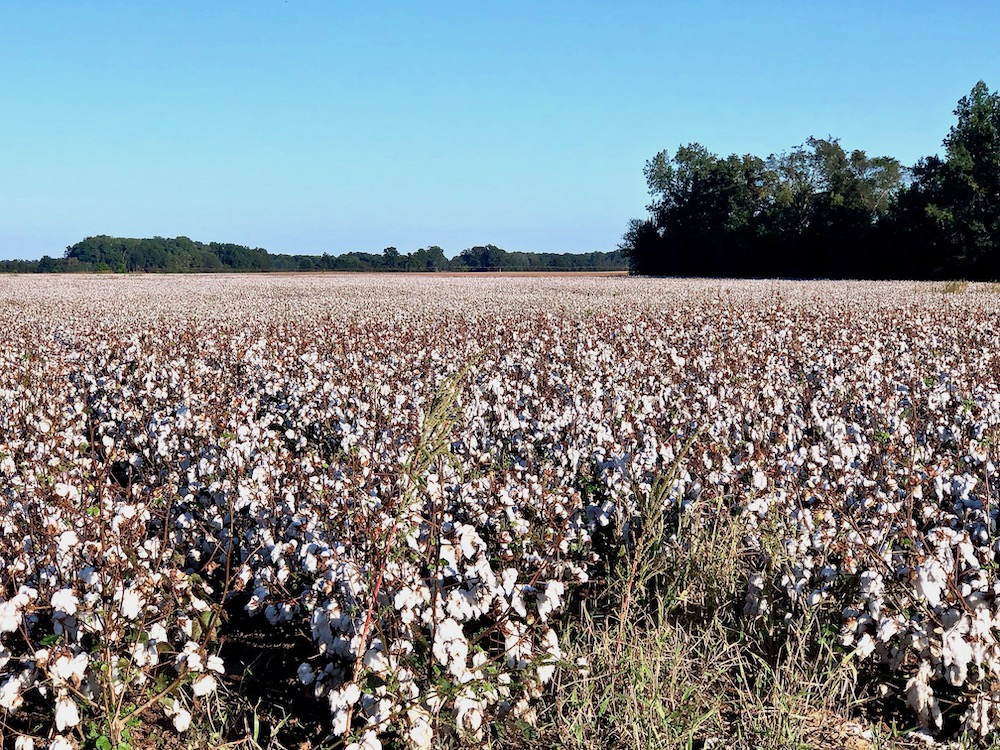 Cotton fields along the Great River Road in Arkansas