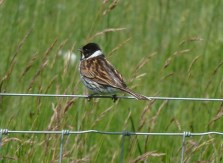 Reed bunting on predator fence