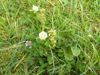Grass of Parnassus and frog orchid