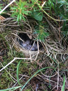 Willow warbler nest with seven eggs