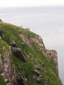 Fearless sheep, Cape Wrath