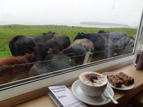 Cows at a cafe, Birsay, Orkney