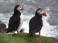 Puffins at Hermaness, Unst, Shetland