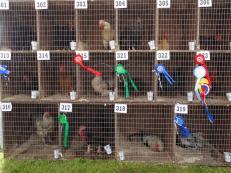 Prize winning chickens, Voe, Shetland Mainland