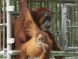 Orangutan rescued
