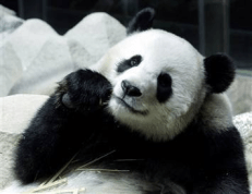 Pandas. The cutest animal on the planet, right?