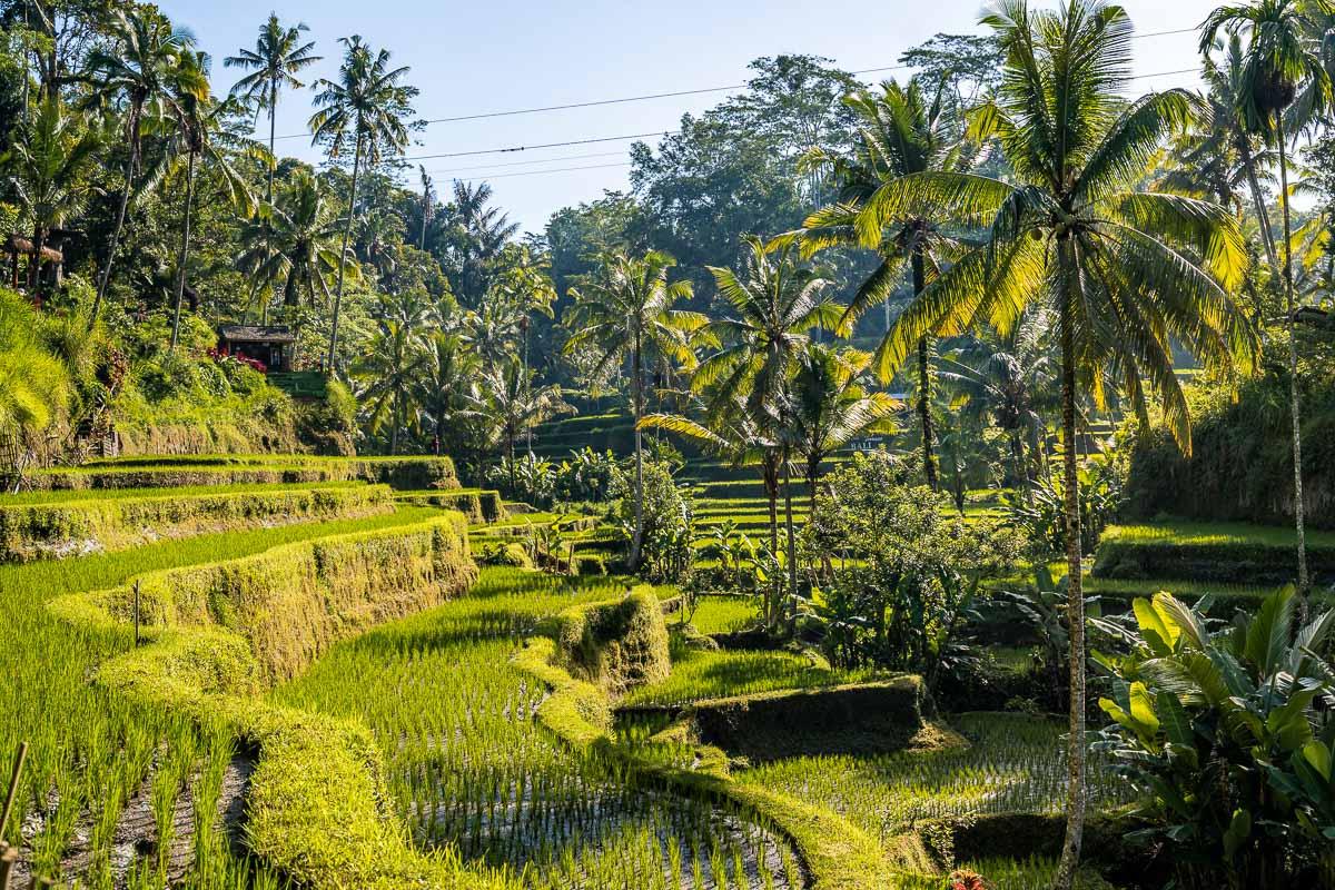 Lush green palm trees at Tegallalang Rice Terraces in Bali